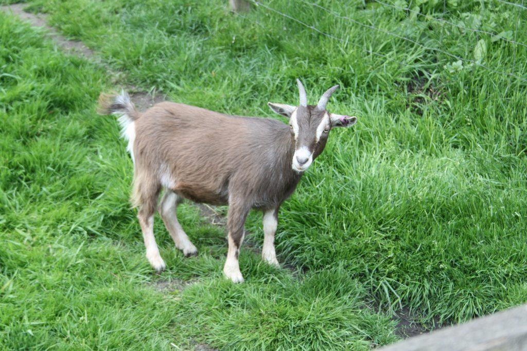 Lancaster Farm - Goat